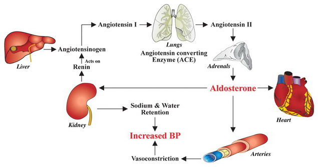 a magas vérnyomás mechanizmusa)