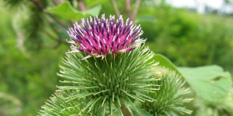 Györgytea Apróbojtorján (Agrimonia eupatoria) - Györgytea gyógynövény leírás