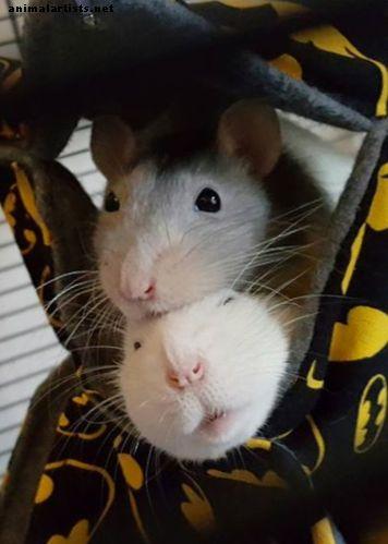 patkányok és magas vérnyomás magas vérnyomás és hajdina zabkása