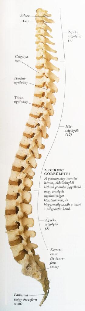 Katonalány kiegyenesedett lordózisa: brutális fejfájás és vérnyomásprobléma a nyaki gerinc miatt!