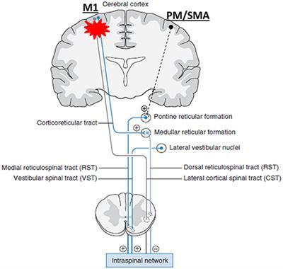 cortexin hipertónia milyen gyümölcsleveket ihat magas vérnyomás ellen