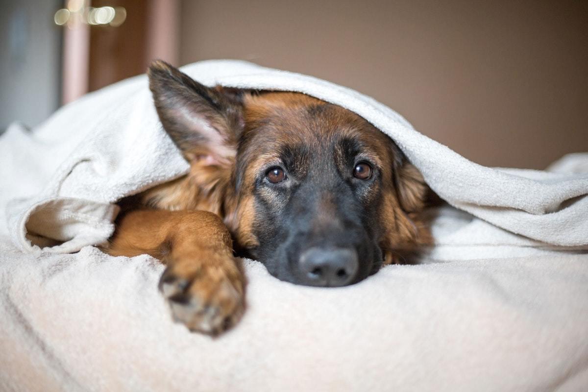 a kutya magas vérnyomásban szenved)