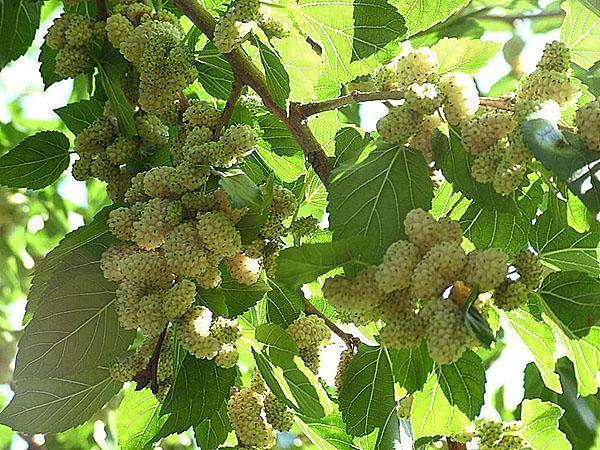 Egy igénytelen fa gyümölcse kezeli a rákot
