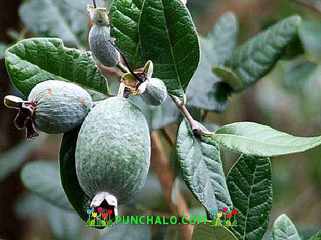 Gyógynövények a magas vérnyomás és a bradick