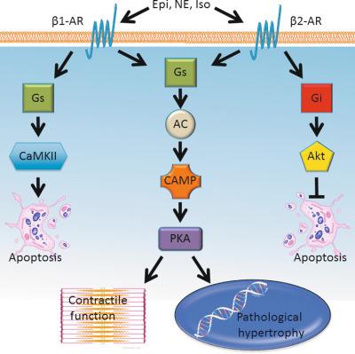 hipertónia receptor antagonistáira kék agyag és magas vérnyomás