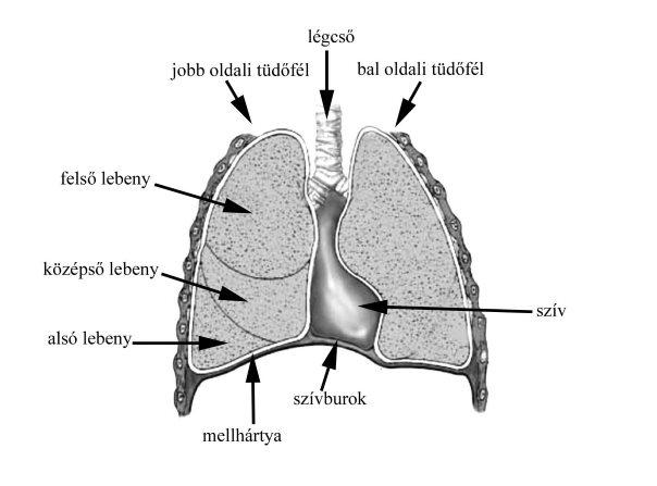 a pulmonalis keringés és a szív magas vérnyomása)