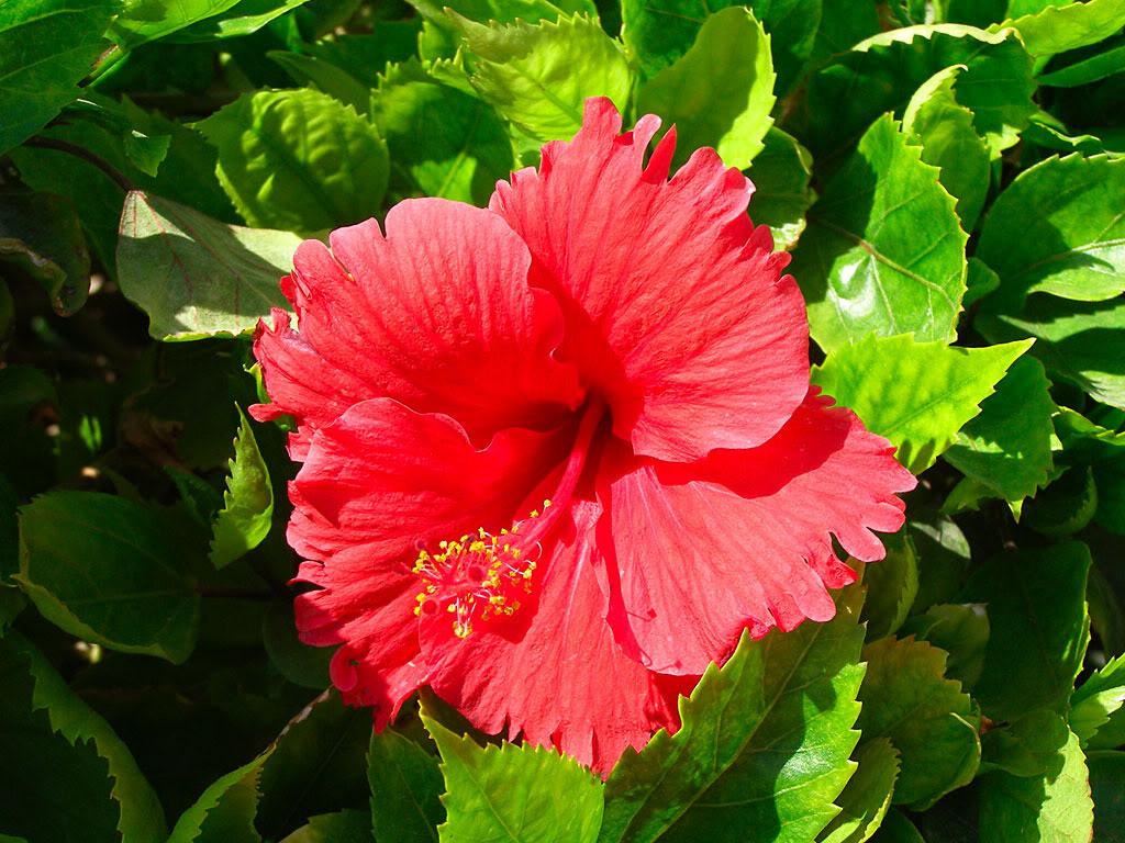 A hibiszkusz csökkenti vagy növeli a nyomást, ami a hatását adja.