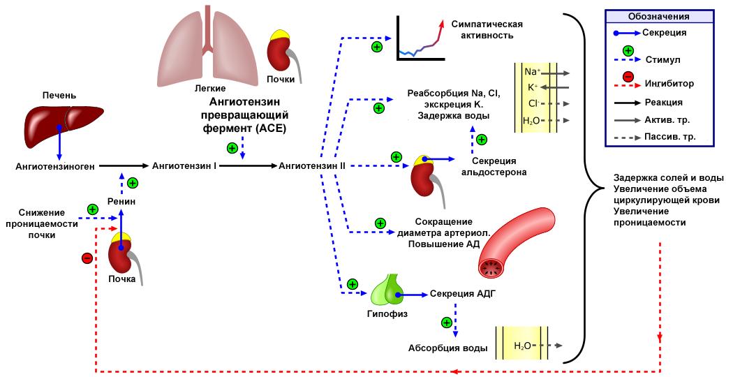 A prosztata adenoma provokálhatja-e a nyomás növekedését